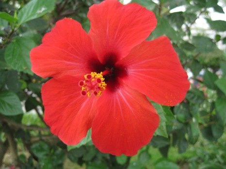 The hottest of red hibiscus!