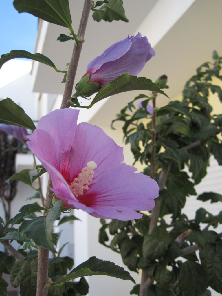 My much loved hibiscus plants