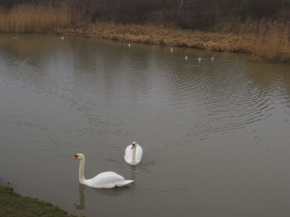 So I wandered off to see the swans instead