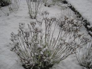 A delicate snow bush