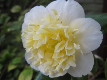 This camelia is delicious