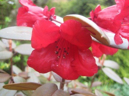A bronze leaved rhododendron. The first time it has flowered for me.