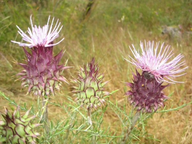 The thistles are everywhere!