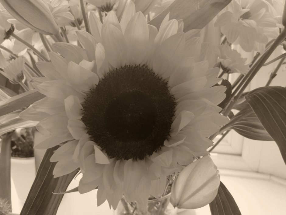 And how can this black and white version be called a sunflower?