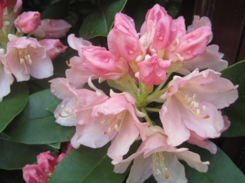 But rhododendrons are hard to beat