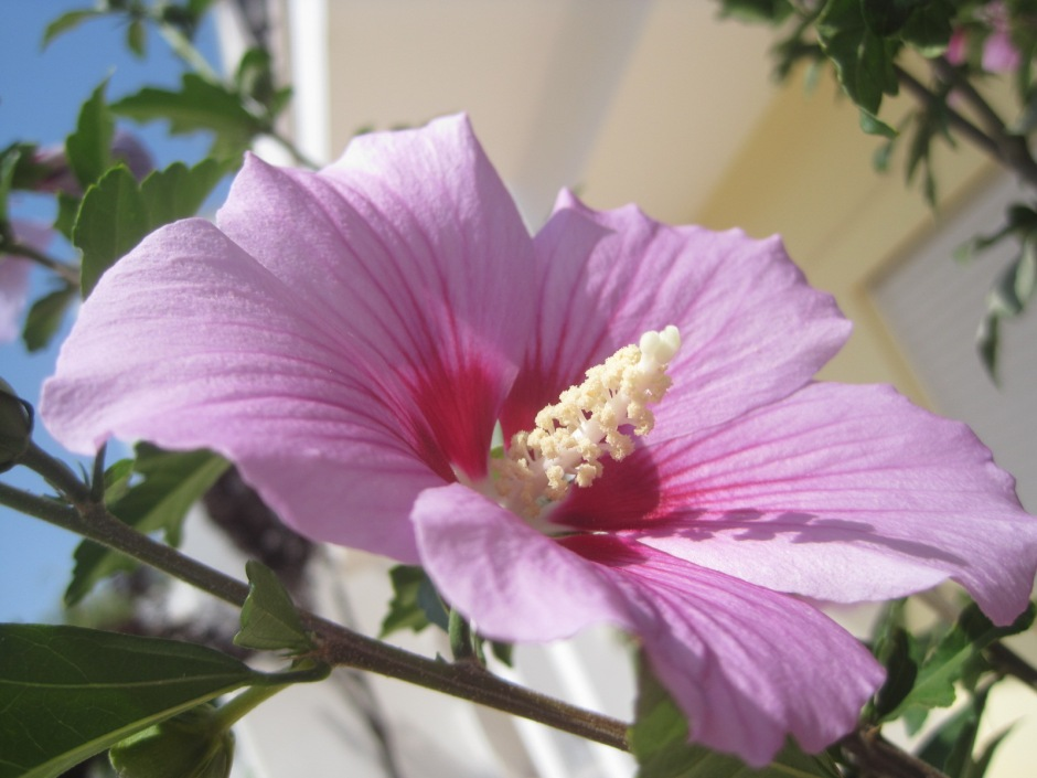 This hibiscus is planted outside our house and welcomes us back each trip.