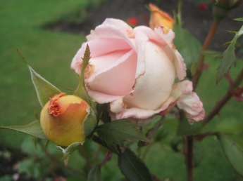 Or the perfection of a rosebud