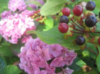 The blush of a hydrangea