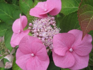 Pink perfection, the hydrangea