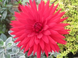 This dahlia looked red as could be to me, but here it's looking pink!