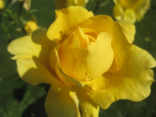 My stepdad, Joe, hated the colour yellow, but Mam loved her roses