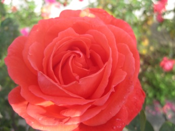 I thought this rose was red, but isn't it coral?