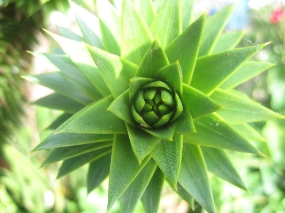A Monkey Puzzle tree in close-up