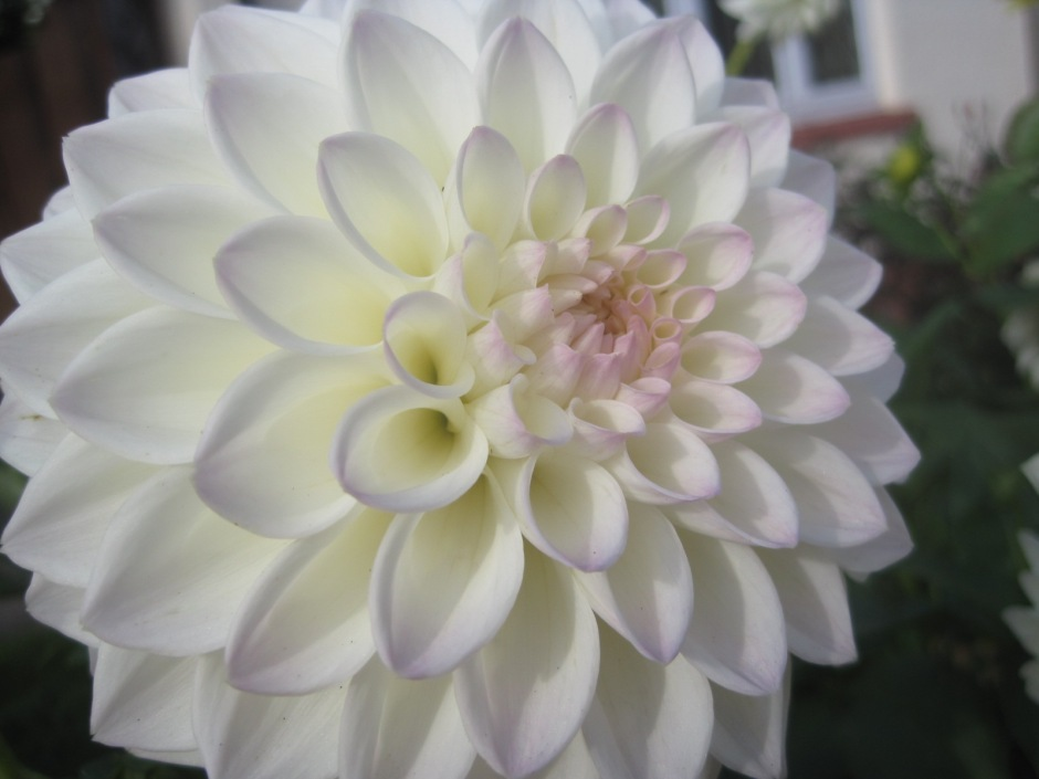 How lovely is this dahlia?  It's a huge bloom!