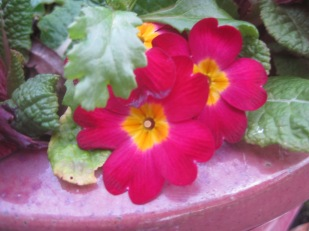 A pretty-in-pink primula