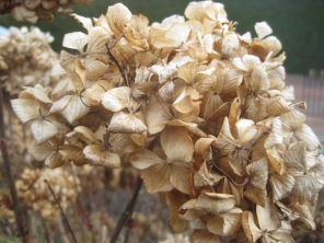 The hydrangea head- a vestige of Winter