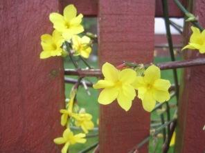 Forsythia through the fence