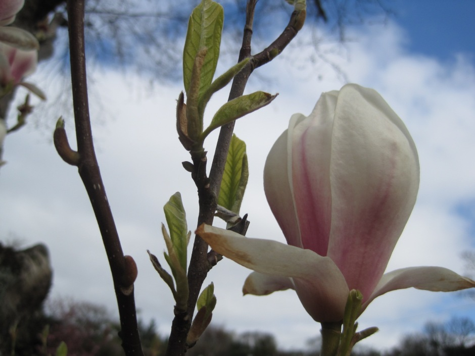 This magnolia was a beauty!