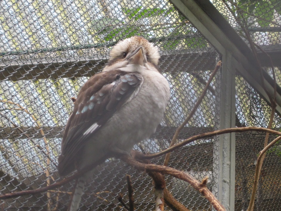 The kookaburra was one of my favourites of the captive species