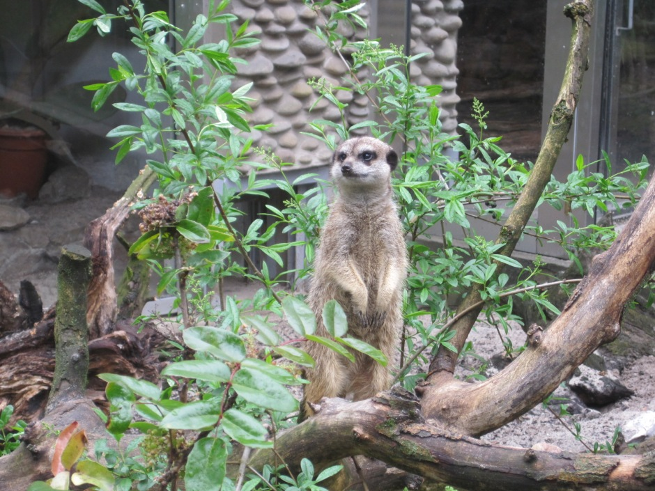 But the meerkats were keeping a sharp lookout!