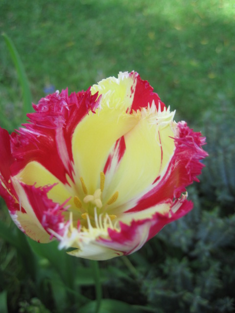 Tulip power!