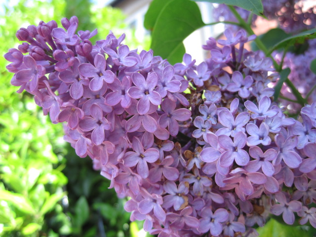 The fragrance of lilac