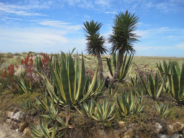 Cacti and aloe vera begin to take over