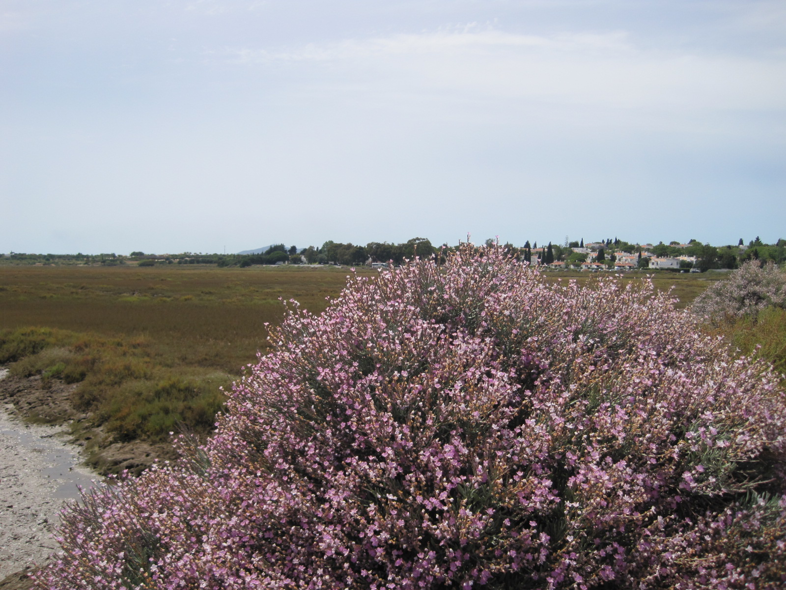 The sea broome in delicate shades of lilac