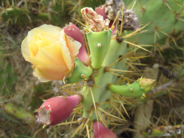 Like the flowering cacti- almost as plentiful as the broom!
