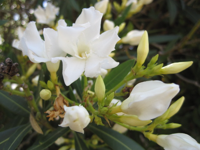 The oleander are lovely this year