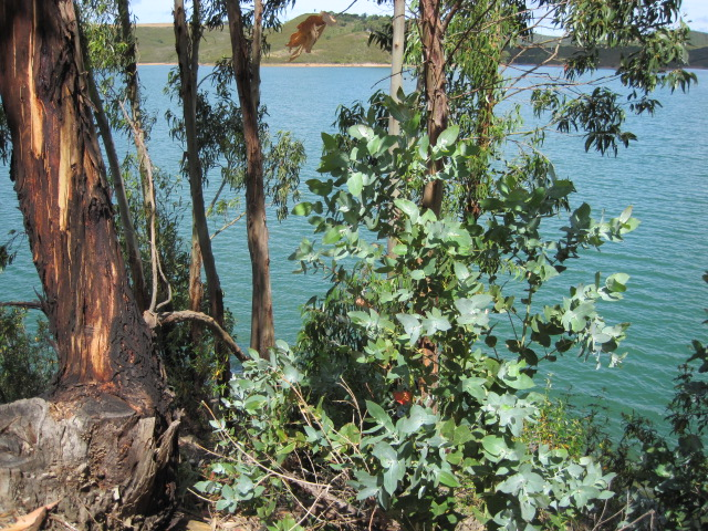 The eucalyptus forming a screen