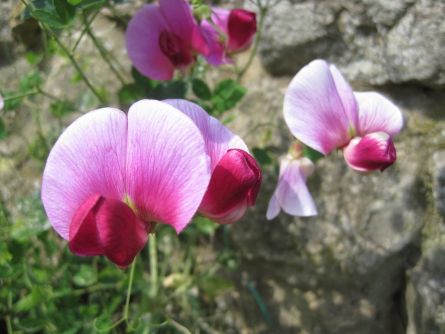 And against a garden wall, the sweetpeas were climbing