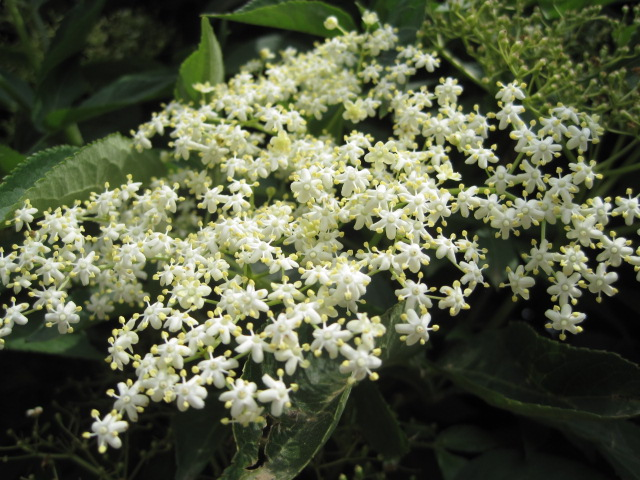 The elderflowers have been prolific this year