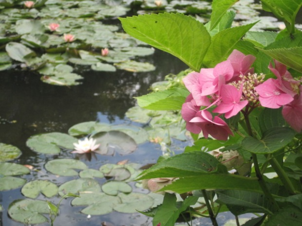 What could be more lovely than a pond full of water lilies?