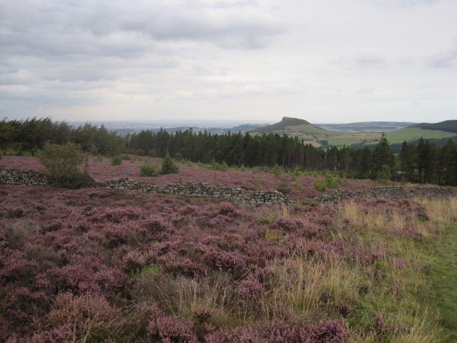 The heather stretches for miles