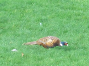 Numerous pheasants scuttle around the grounds