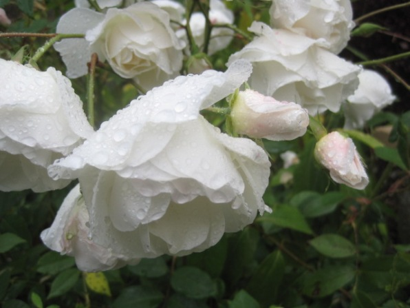 An Autumnal dew bathes the roses
