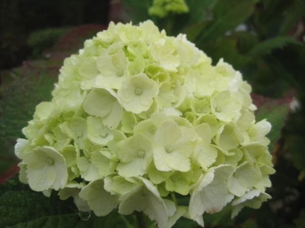 And then you have lovely mopheads of hydrangeas