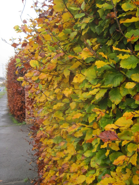 But the beech hedges are lovely, aren't they?