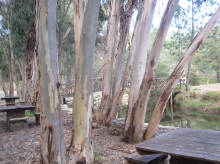 And awfully nice eucalyptus trees