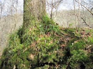 The trees still wear their winter moss blankets