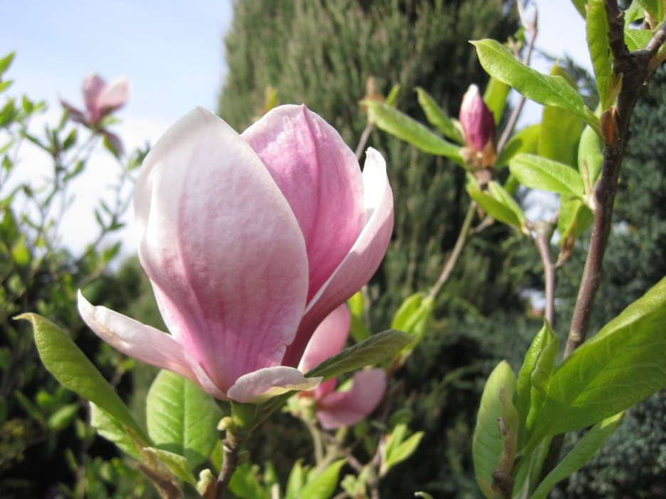 And my favourite, Magnolia (Magdanolia)