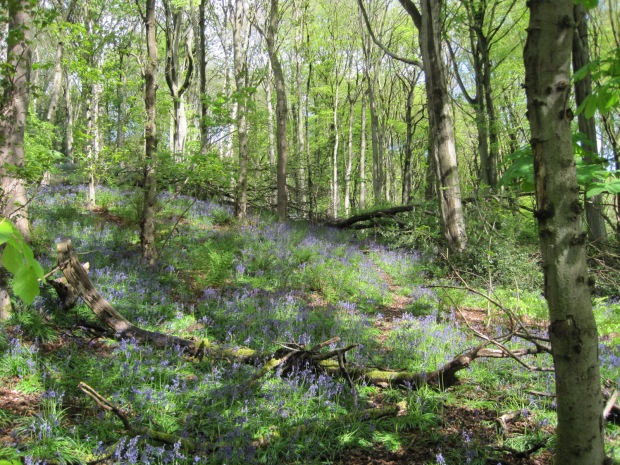 Is anything quite so entrancing as a bluebell wood?