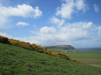 The gorse is blooming
