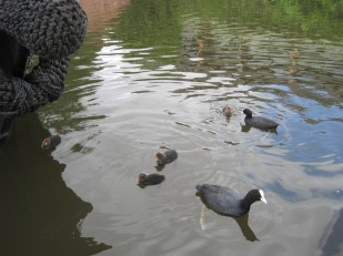 Coot babies are quite spiky!