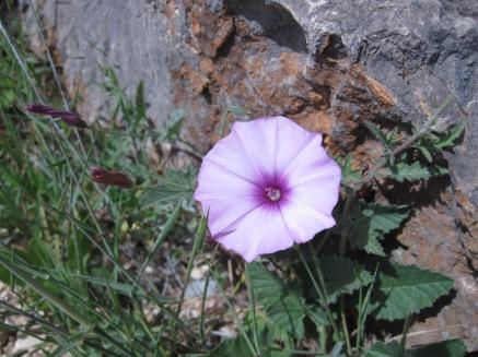 Softest lilac