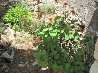 But the geraniums still flourish