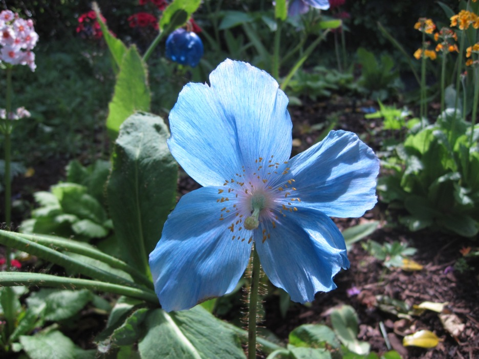 And exquisite blue poppies