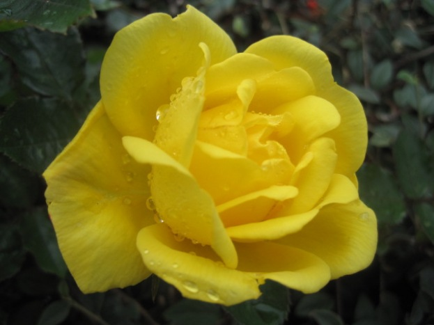 For Sherri- because she's an English rose