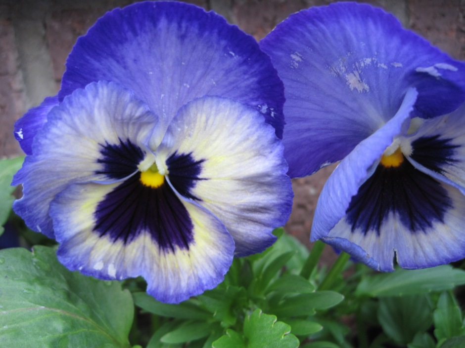 For Meg, who finds pansies bland